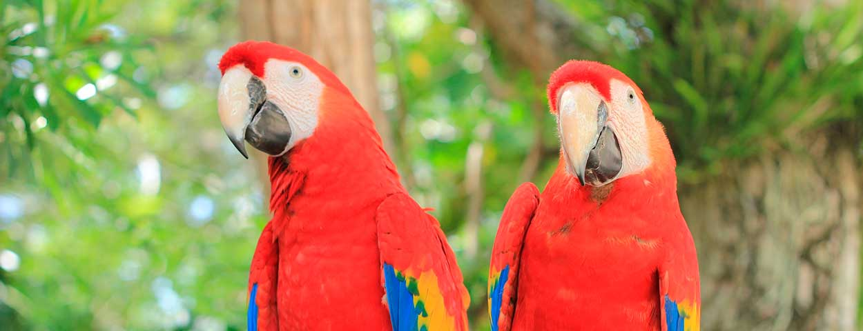 March in Costa Rica - Scarlet Macaw