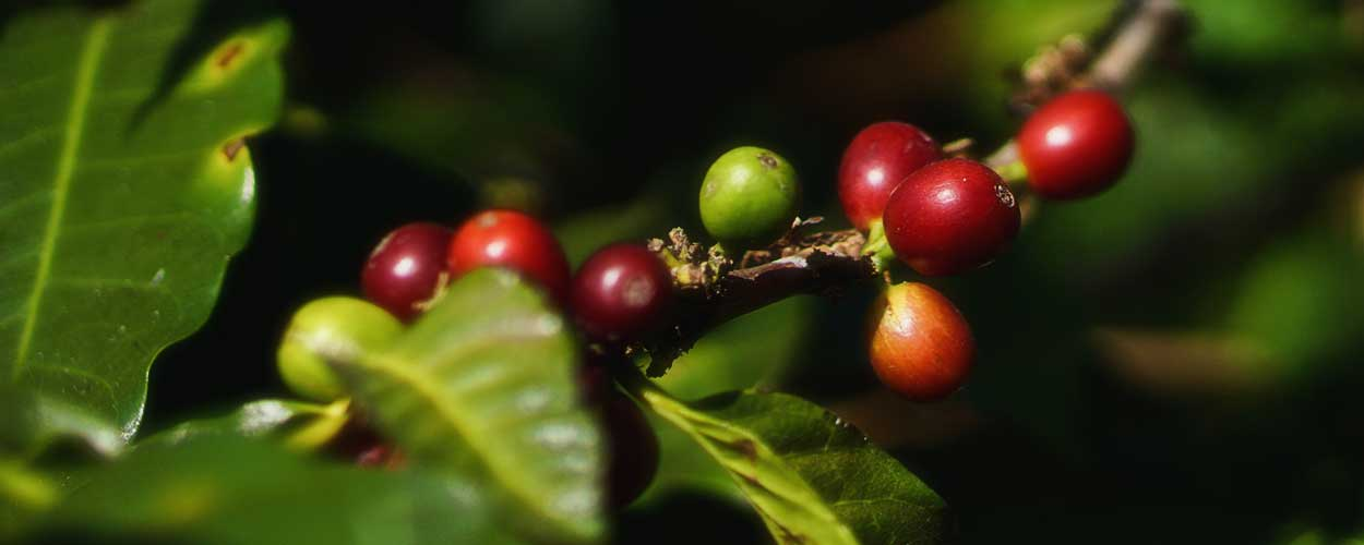 December in Costa Rica - Coffee Picking