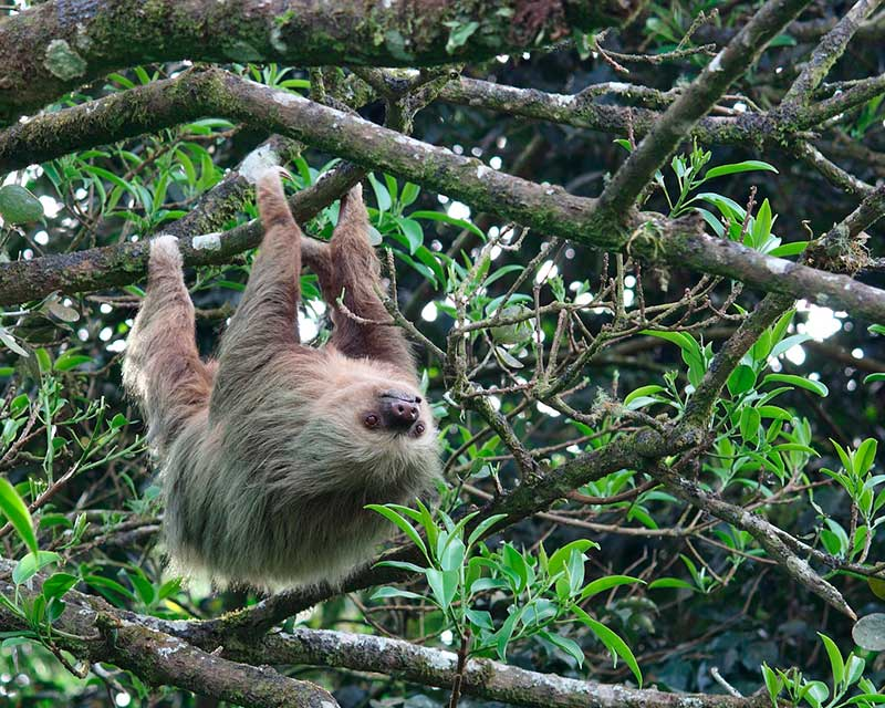 Two-Toed-Sloth - Sloths in Costa Rica