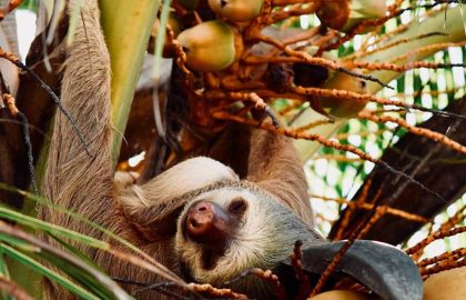Sloths-in-Costa-Rica-7