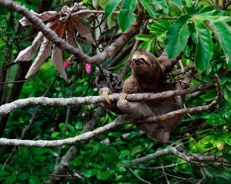 Sloths in Costa Rica - Cecropia Tree
