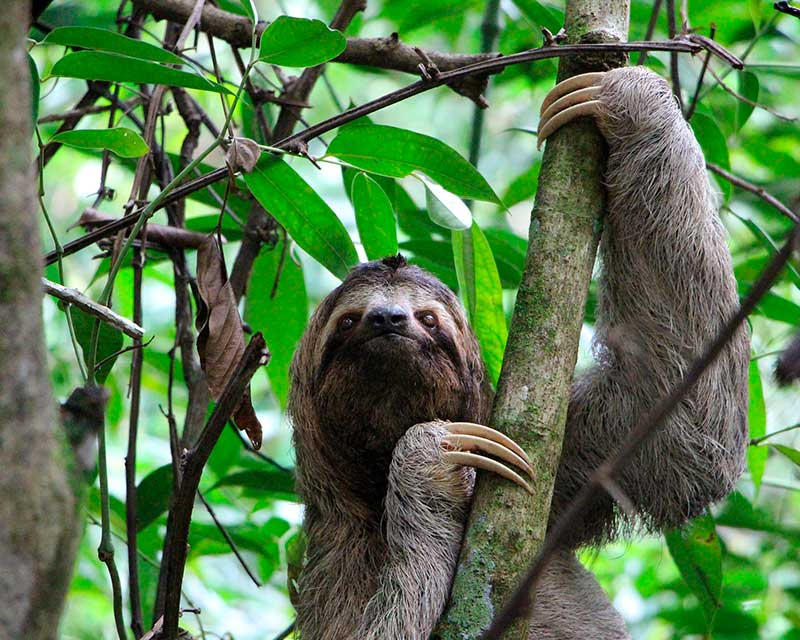 Three-Toed-Sloth - Sloths in Costa Rica