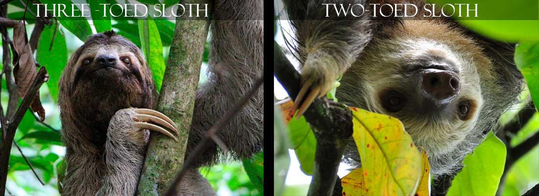 Sloths in Costa Rica - Two Species