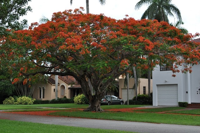 April in Costa Rica - Flamboyant trees (Royal Poinsietta) is in bloom.
