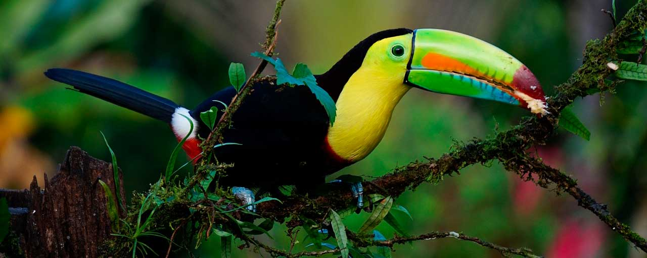 April in Costa Rica Keel Billed Toucan
