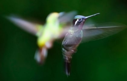 Hummingbirds-in-costa-rica1